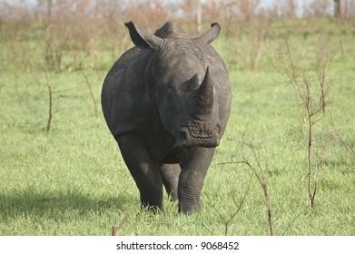 White Rhinoceros in Africa Bush Lands 3