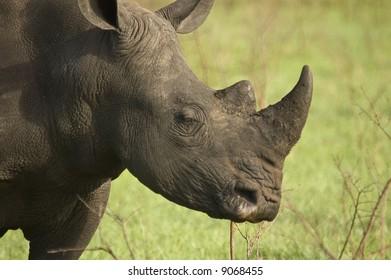White Rhinoceros in Africa Bush Lands 4