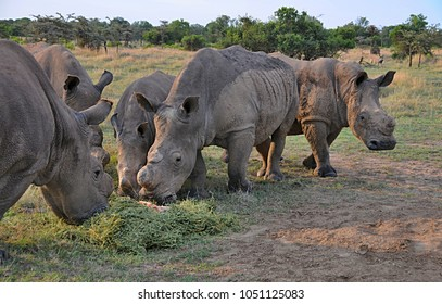 White Rhinoceros in african savanna