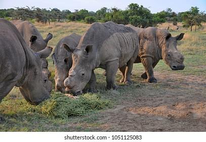 White Rhinoceros in african savanna