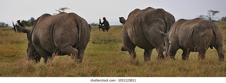 White Rhinoceros with armed guard