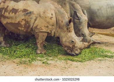White rhinoceros in the beautiful nature. Wild animals in captivity. Prehistoric and endangered species in zoo.