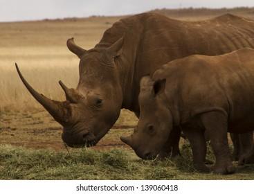 White rhinoceros with calf