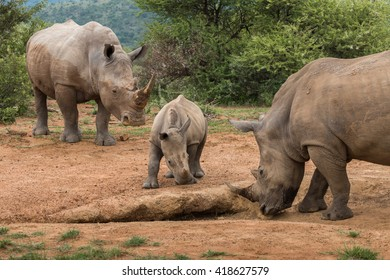 White Rhinoceros calf standing between two adult rhinos (Ceratotherium simum) in Pilansberg, South Africa