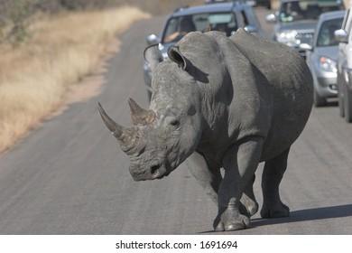 White rhinoceros , Ceratotherium simum,