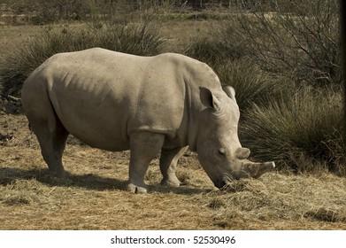 White rhinoceros (Ceratotherium simum)