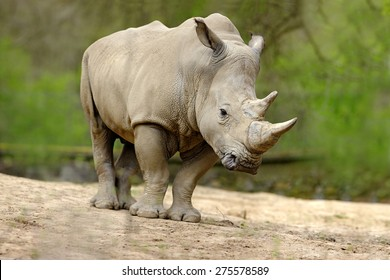 White rhinoceros, Ceratotherium simum, with big horns, wildlife from Africa.