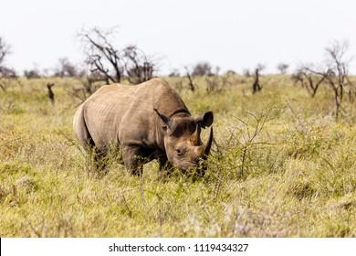 white rhinoceros, Ceratotherium simum, Etosha Nationalpark, Namibia