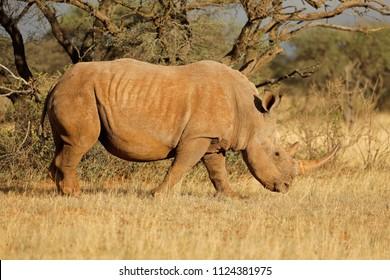 A white rhinoceros (Ceratotherium simum) grazing in natural habitat, South Africa