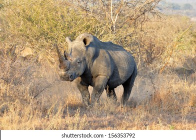 A White Rhinoceros (Ceratotherium simum) in the Kruger Park, South Africa