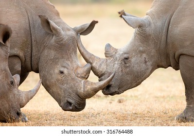 White Rhinoceros (Ceratotherium Simum) locking horns and interacting in the Kruger National Park (South Africa)