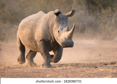 White rhinoceros charge with dust