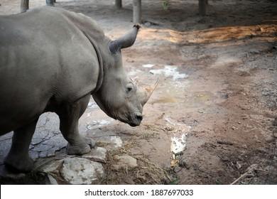 White rhinoceros, Diceros simus, single mammal head shot,