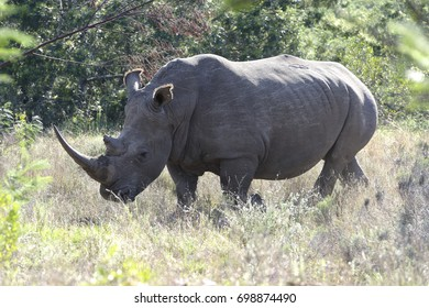 White Rhinoceros, Eastern Cape, South Africa