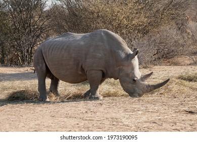 White Rhinoceros feeding in Waterberg Wilderness Private Reserve, Namibia
