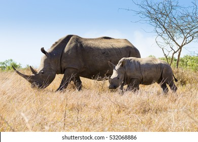 White rhinoceros female with puppy, from Hluhluwe ??Imfolozi Park, South Africa. African wildlife. Ceratotherium simum