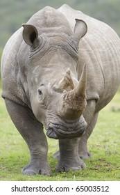 White rhinoceros front on