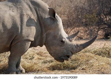 White Rhinoceros headshot in Waterberg Wilderness Private Reserve, Namibia