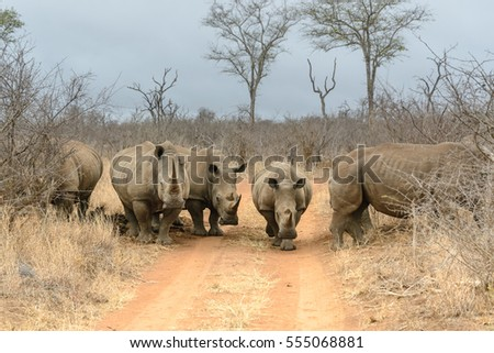 White rhinoceros in Hlane Royal National Park, Swaziland