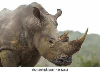 White rhinoceros with intent look in eye