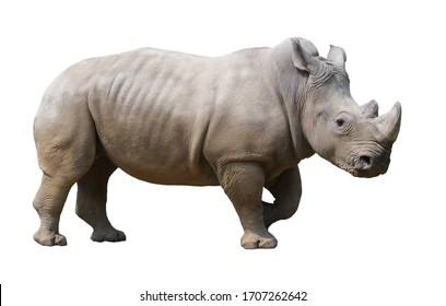 white rhinoceros isolated on white background