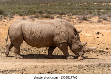 A white Rhinoceros laying calm and relaxed in the Savannah