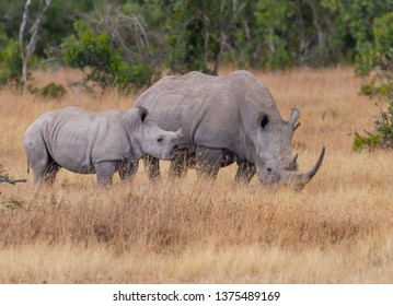 White rhinoceros mother and calf pair with oxpecker bird in ear, walking and grazing, square-lipped rhinoceros Ceratotherium simum in golden parched grassland Ol Pejeta Conservancy Kenya East Africa