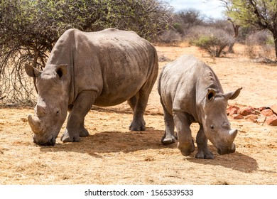 White rhinoceros mother with her offspring walking through the steppe, Namibia, Africa