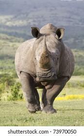 White Rhinoceros on the run