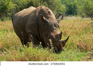 Rhinoceroses Images Stock Photos Vectors Shutterstock