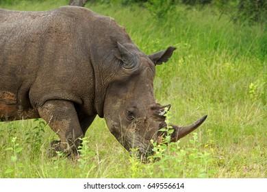 White rhinoceros, Pilanesberg National Park, South Africa