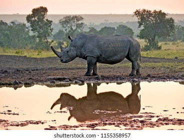 White rhinoceros reflected in waterhole at sunrise, Kenya