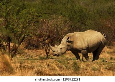 A white rhinoceros, rhino, (Ceratotherium simum)  staying in grassland with green trees in background in Kalahari desert.