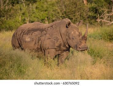 White Rhinoceros in the Savannah at Hlane Royal National Park, Swaziland