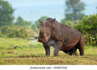 White Rhinoceros snorting