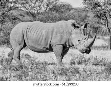 White Rhinoceros in Southern African savanna