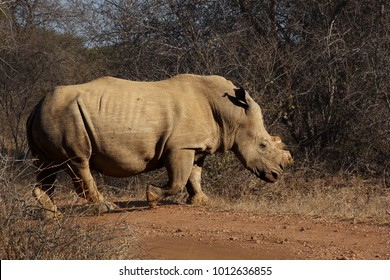 The white rhinoceros or square-lipped rhinoceros (Ceratotherium simum) has cut horn due to poachers, walking in the savanna
