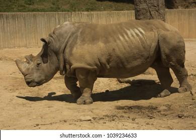 White rhinoceros,  square-lipped rhinoceros (Ceratotherium simum).