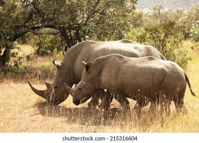 White Rhinoceros or Square-lipped rhinoceros (Ceratotherium simum) near the Masai Mara National Reserve southwestern Kenya.