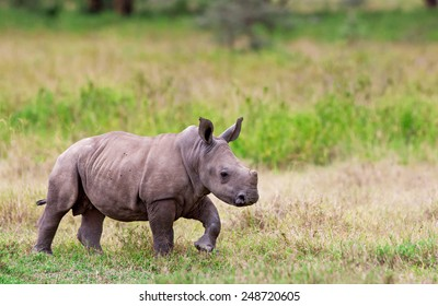 White rhinoceros or square-lipped rhinoceros (Ceratotherium simum) baby in Lake Nakuru National Park, Kenya. The white rhinoceros is one of the five species of rhinoceros that still exist.