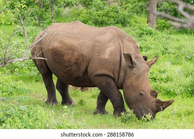 White rhinoceros or square-lipped rhinoceros (Ceratotherium simum) in Mosi-oa Tunya National Park, Zambia, Africa