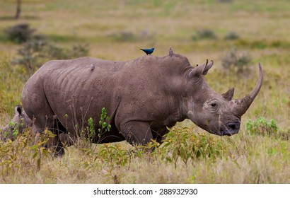 White rhinoceros or square-lipped rhinoceros (Ceratotherium simum) in Lake Nakuru National Park, Kenya. The white rhinoceros is one of the five species of rhinoceros that still exist.