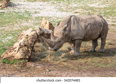A white rhinoceros or square-lipped rhinoceros, Ceratotherium simum, standing near a stone. This is the largest extant species of rhinoceros