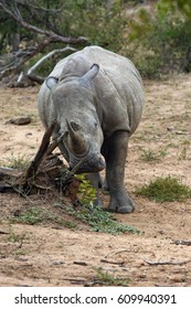 The white rhinoceros or square-lipped rhinoceros (Ceratotherium simum)  is scratching his head on a dry branch