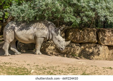 White rhinoceros or square-lipped rhinoceros (Ceratotherium simum) under some bushes with a stone wall on the background - front view