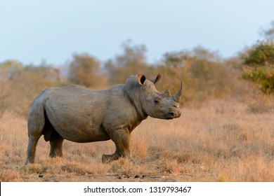 White rhinoceros or square-lipped rhinoceros or rhino (Ceratotherium simum). Limpopo Province. South Africa