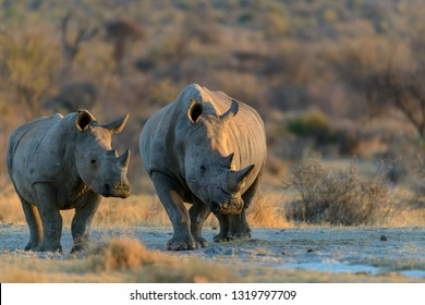 White rhinoceros or square-lipped rhinoceros or rhino (Ceratotherium simum). North West Province. South Africa