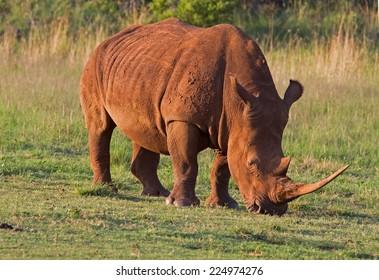 White Rhinocerus; Ceratotherium simum