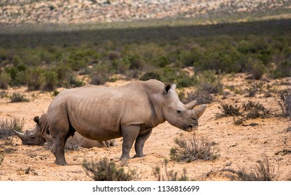 White Rhinos in Aquila private Game Reserve