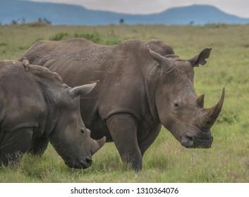 white rhinos on green African grassland
